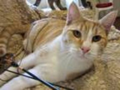 Adopt Sam a Spotted Tabby/Leopard Spotted Domestic Shorthair (short coat) cat in