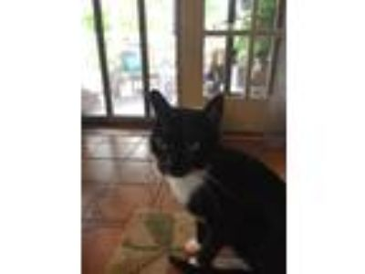 Adopt Buds a Black & White or Tuxedo American Shorthair (short coat) cat in