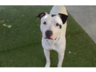 Adopt REX a White - with Black American Pit Bull Terrier / Mixed dog in