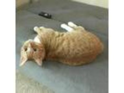 Adopt Riggs a Orange or Red Domestic Shorthair / Domestic Shorthair / Mixed cat