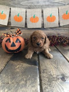 Goldendoodle-Poodle (Miniature) Mix PUPPY FOR SALE ADN-102166 - Sweet Male Mini Goldendoodle