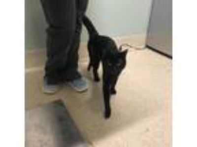 Adopt Sooty a All Black Domestic Shorthair / Domestic Shorthair / Mixed cat in
