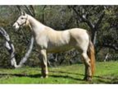 Yegua Espaola Registro ANCCE Pregnant mare to revised Isabelo Stallion