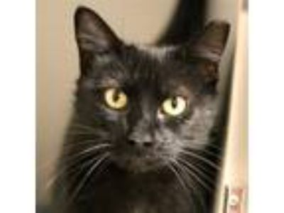 Adopt Kitty Girl a Domestic Shorthair / Mixed (short coat) cat in Dallas