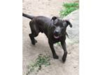 Adopt Sampson a Brindle Rottweiler / American Pit Bull Terrier dog in West