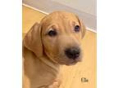 Adopt EVAN a Tan/Yellow/Fawn - with White Catahoula Leopard Dog / Mixed dog in