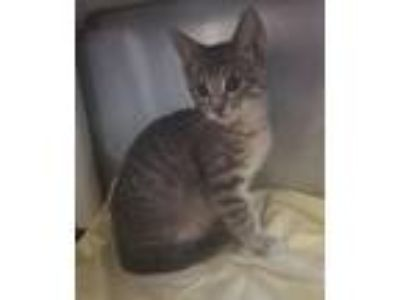 Adopt Cassian a Domestic Shorthair / Mixed cat in Madison, NJ (25929722)