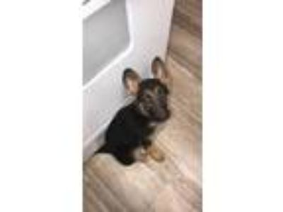 Adopt Lucy a Black - with Tan, Yellow or Fawn German Shepherd Dog dog in Fort