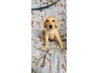 Adopt Captain a Retriever, Labrador Retriever