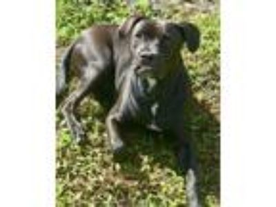 Adopt Duncan a Black Boxer / Labrador Retriever / Mixed dog in West Palm Beach