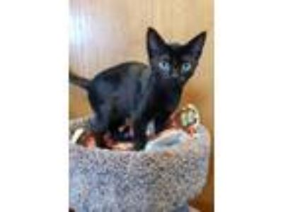 Adopt Snydor a Domestic Short Hair