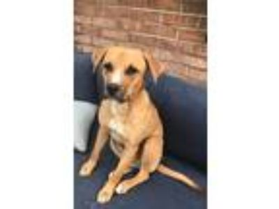 Adopt Buster a Red/Golden/Orange/Chestnut - with White Coonhound (Unknown Type)