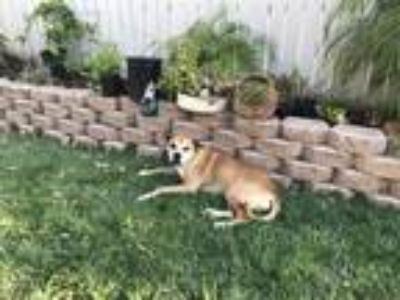 Adopt Ginger a Tan/Yellow/Fawn Boxer / Labrador Retriever / Mixed dog in