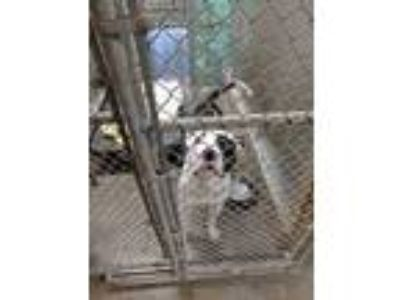 Adopt Petie a White - with Black Pit Bull Terrier / Mixed dog in Middletown