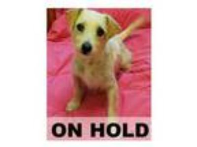 Adopt OLIVIA a Tan/Yellow/Fawn Cairn Terrier / Mixed dog in Tangent