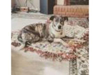 Adopt Bailey Mae a Brindle Australian Shepherd dog in Woodstock, GA (25541544)
