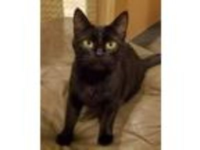 Adopt Tolkien a Domestic Short Hair