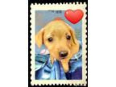 Adopt Blush VE a Red/Golden/Orange/Chestnut Retriever (Unknown Type) / Hound