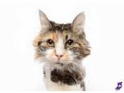 Adopt JEMIMA a Calico or Dilute Calico Domestic Longhair / Mixed (long coat) cat