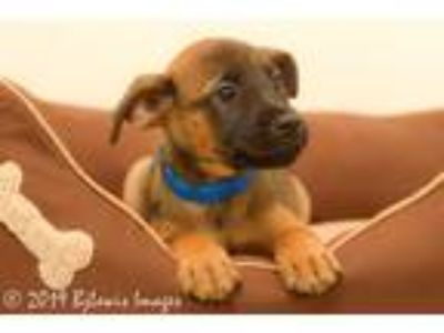 Adopt Bob a Tan/Yellow/Fawn - with Black Shepherd (Unknown Type) / Corgi / Mixed