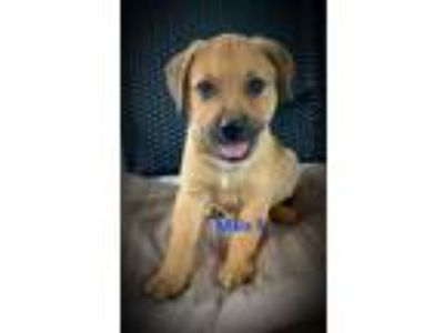 Adopt A - Gaston a Golden Retriever, Labrador Retriever