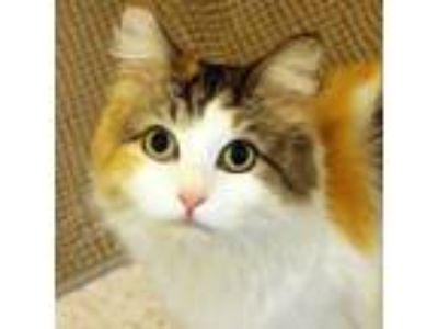 Adopt Mickey a White Domestic Longhair / Domestic Shorthair / Mixed cat in Ann