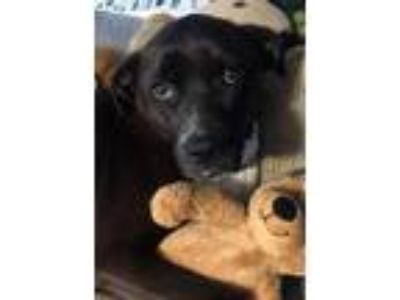 Adopt Ivy a Black Retriever (Unknown Type) / Boxer / Mixed dog in Spring City