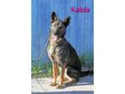 Adopt Kalola a Brindle - with White German Shepherd Dog / Mixed dog in Joliet
