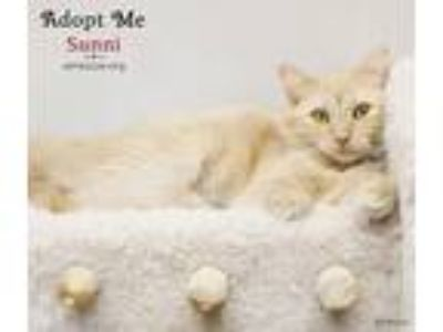 Adopt Sunni a Orange or Red Tabby Domestic Longhair (long coat) cat in Phoenix