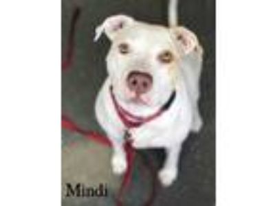 Adopt Mindi a White American Pit Bull Terrier / Mixed dog in Valparaiso