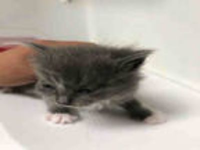 Adopt *GRAEBY a Gray or Blue Domestic Shorthair / Mixed (short coat) cat in
