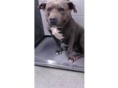 Adopt Tiny a Pit Bull Terrier, Mixed Breed
