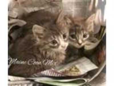 Adopt Maine Coon Mix Kittens- Lonnie, Lana, Gina, and Gene!