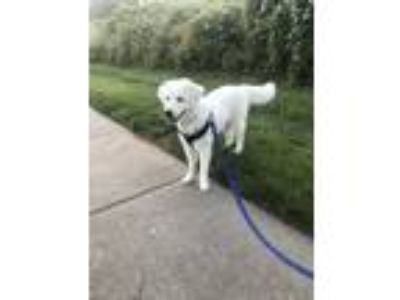 Adopt Luna a White Great Pyrenees dog in Cornelius, NC (25633561)