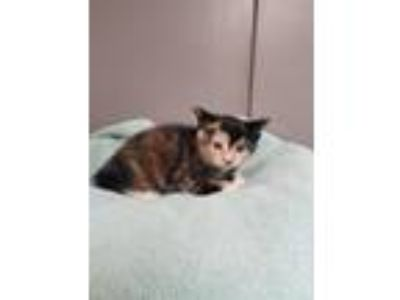 Adopt Adara a Domestic Short Hair