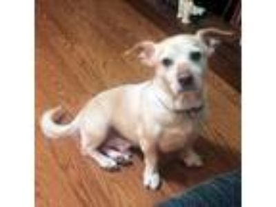 Adopt Milo a Tan/Yellow/Fawn Dachshund / Mixed dog in Manchester, NH (25213801)
