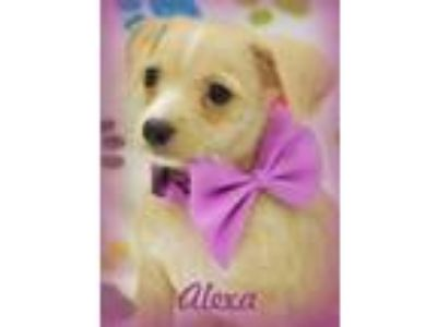Adopt ALEXA a Tan/Yellow/Fawn - with White Dachshund / Terrier (Unknown Type