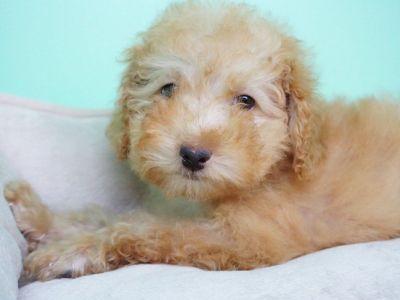 Golden doodle Puppy- Male- Le Bron ($1,399)