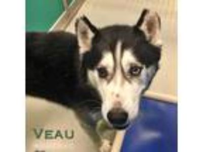 Adopt Veau a Black - with White Siberian Husky / Mixed dog in Carrollton