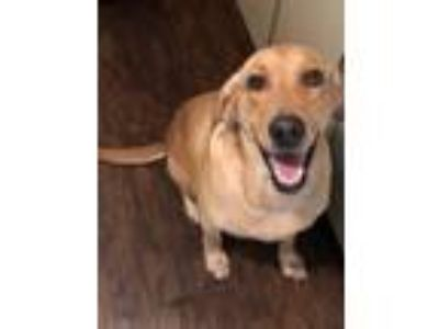 Adopt Nala a Tan/Yellow/Fawn Labrador Retriever dog in Oklahoma City