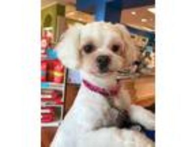 Adopt MIKEY a Poodle, Shih Tzu
