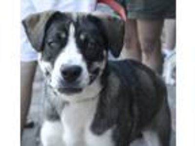 Adopt Domino - 101 Dalmatians a Shepherd (Unknown Type) / Mixed dog in