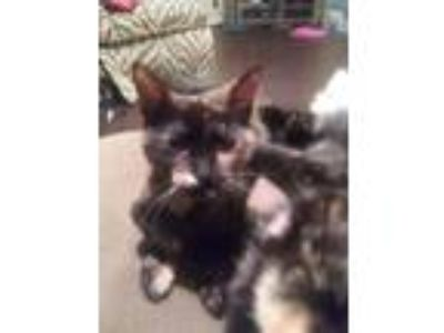 Adopt Tori a Tortoiseshell Domestic Shorthair (short coat) cat in Arlington/Ft