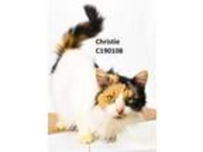 Adopt Christie a White (Mostly) Calico / Mixed (long coat) cat in Oxford