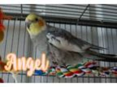 Adopt Angel a Cockatiel