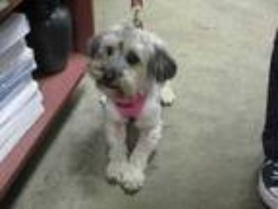 Adopt Coco a Gray/Blue/Silver/Salt & Pepper Poodle (Miniature) / Mixed dog in