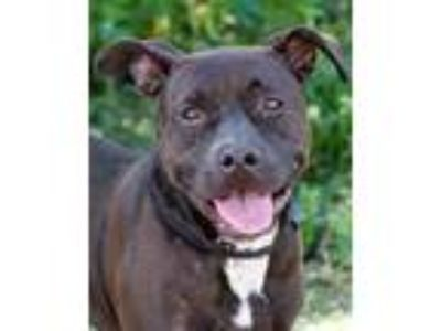 Adopt Red a Black Retriever (Unknown Type) / Mixed dog in Loxahatchee