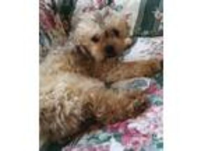 Adopt Mike a Poodle, Yorkshire Terrier
