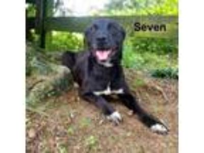 Adopt Seven a Labrador Retriever, Mixed Breed