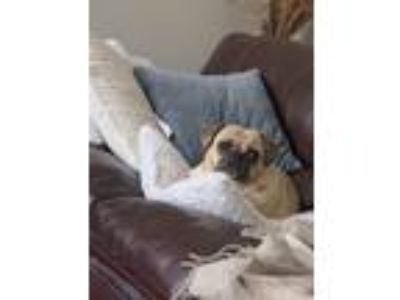 Adopt Murphy a Black - with Tan, Yellow or Fawn Pug / Beagle / Mixed dog in